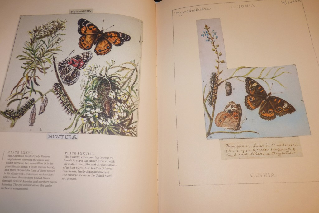 The American Painted Lady (left, southern US, Mexico and northern South America)) and The Buckeye (right, US and Mexico) ) with caterpillar, chrysalides and larvae.